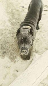 Огромный породистый пес не находил себе места от тоски в приюте